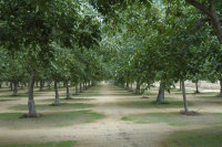 Walnut Orchard 2014